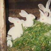 Елена выращивает кроликов